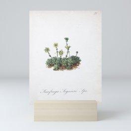 Flower saxifraga sequieri1 Mini Art Print