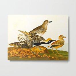 Black-bellied Plover Bird Metal Print