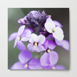 Dame's Rocket Flowering Metal Print