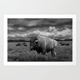 American Buffalo Bison in the Grand Teton National Park in Black and White Art Print