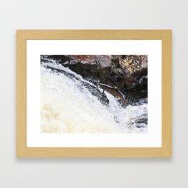 Leaping Atlantic salmon salmo salar Framed Art Print