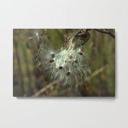Birth of next generation of milkweed Metal Print