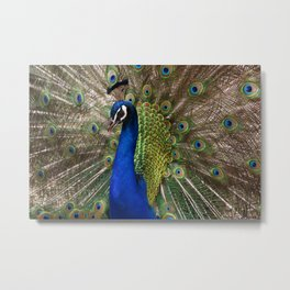 A Peacock Displays its Finery Metal Print