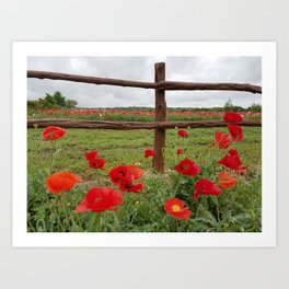 Poppies with Cedar Fence Art Print