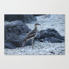 Curlew bird on the beach at Daydream Island Whitsundays Canvas Print