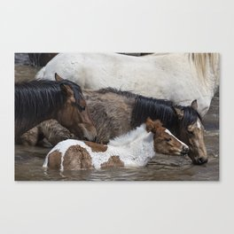 Pinto Foal Enjoying a Dip - South Steens Mustangs Canvas Print