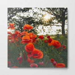 Red poppies in evening light. Holme Hale, Norfolk, UK Metal Print