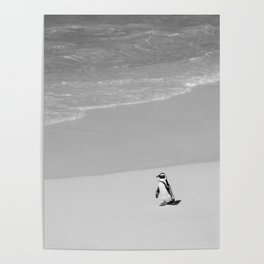 Lone African Penguin walking on beach Poster