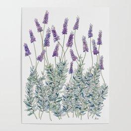 Lavender, Illustration Poster