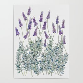 Lavender, Illustration Poster