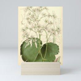 Flower 5377 saxifraga fortunei Mr Fortune s Saxifrage1 Mini Art Print