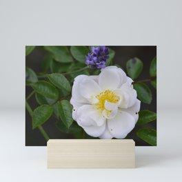 White Dog Rose and Lavender Mini Art Print