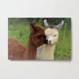 Alpaca Nuzzle Metal Print