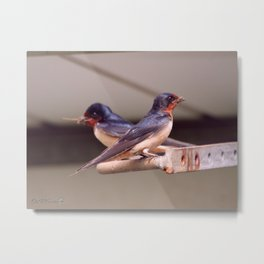 Barn Swallows With Nest Materials Metal Print