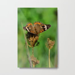 COMMON BUCKEYE BUTTERFLY IN THE FALL (Close-Up) Metal Print