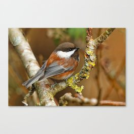 Chestnut-Backed Chickadee in the Cherry Tree Canvas Print