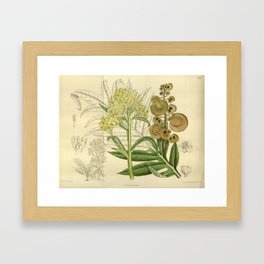 Megacarpaea polyandra, Brassicaceae Framed Art Print