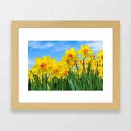 Golden daffodil narcisus flowers vibrantly coloured against bright blue sky Framed Art Print