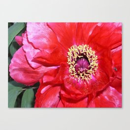 Peony Blossom !! Canvas Print