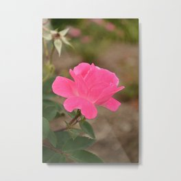 The Fairest of Roses Metal Print