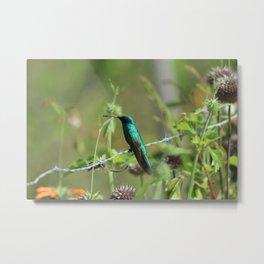 Hummingbird on Barbed Wire Metal Print