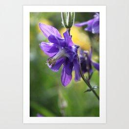 Purple Columbine  Art Print