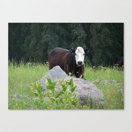 Curious Cow Canvas Print