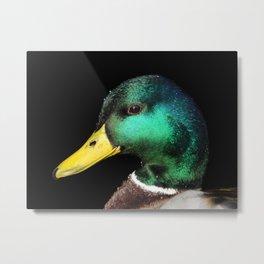 Portrait of a male Mallard Duck Metal Print