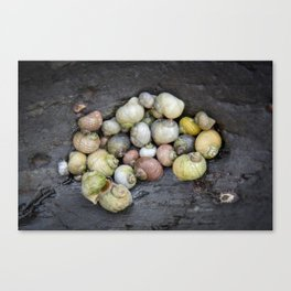 Shells of Easdale. Canvas Print