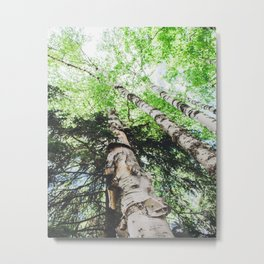 Towering Birch Metal Print