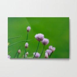 Macro Chive Blossoms 1 Metal Print