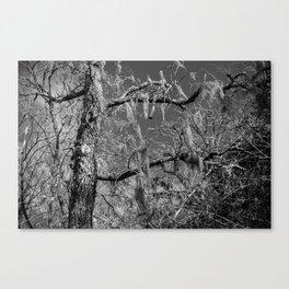 Spanish Moss Canvas Print