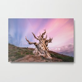 Ancient Bristlecone Pine Tree Sunset Metal Print