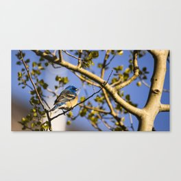 Western Blue Bird Canvas Print
