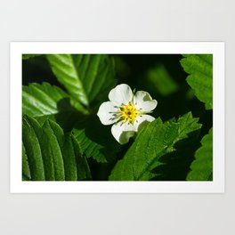 Wild Strawberry Flower Art Print