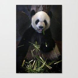 Giant Panda Eating Bamboo Canvas Print