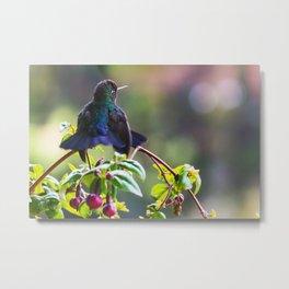 Fiery-throated Hummingbird Metal Print