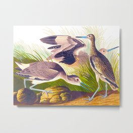 Semipalmated Snipe, or Willet Bird Metal Print