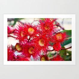 Red Flowering Gum 2. Sydney. Australia Art Print