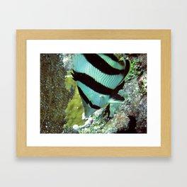 Banded Butterflyfish Framed Art Print