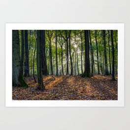 Beech Woodland Sunrise Art Print