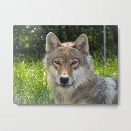 European Gray Wolf Canis Lupus Portrait Metal Print