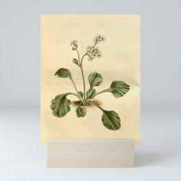 Flower 1664 saxifraga virginiensis Virginian Saxifrage10 Mini Art Print