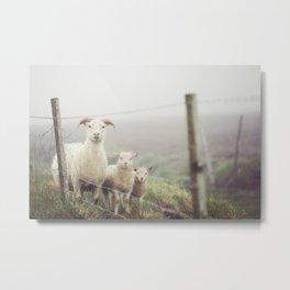I See Ewe - Animal Photography, Icelandic Sheep Metal Print