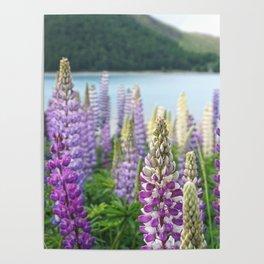Lupins near Lake Tekapo in New Zealand Poster