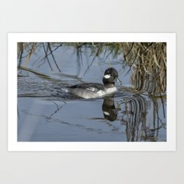 Female or Immature Male Bufflehead Art Print