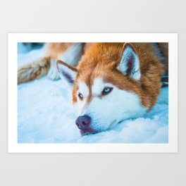 Sleepy Orange Siberian Husky (Color) Art Print