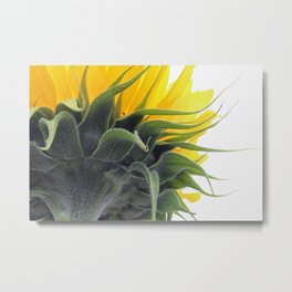 Backside of a Blooming Sunflower Metal Print
