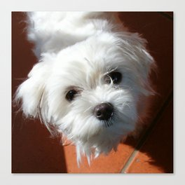 Cute Maltese asking for a treat Canvas Print
