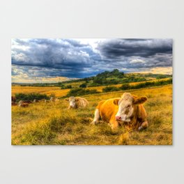 Resting Cows Canvas Print